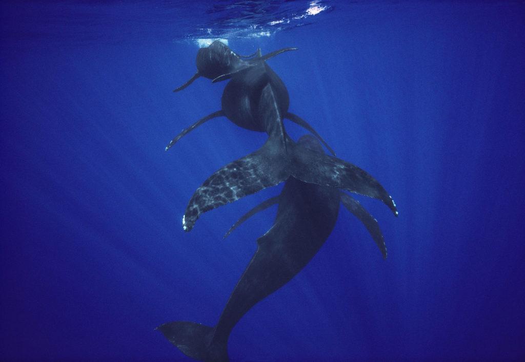 Humpback Whale (Megaptera novaeangliae) calf, mother, and male escort, Maui, Hawaii