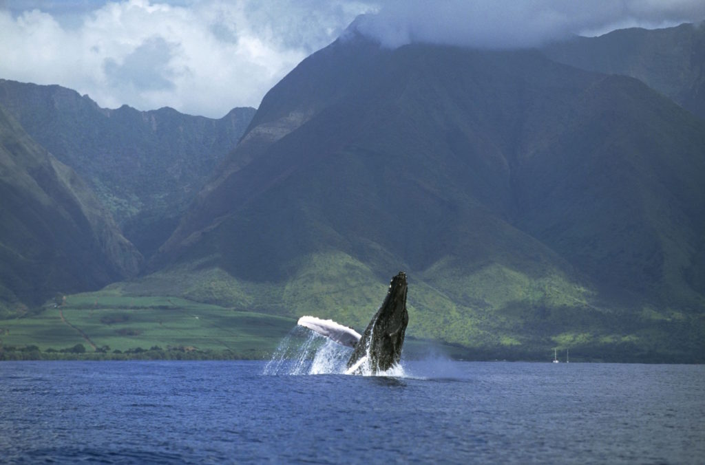 Humpback Whale (Megaptera novaeangliae) breaching, Maui, Hawaii - Notice must accompany publication: Photo obtained under NMFS permit