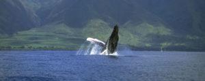 Humpback Migration to Hawaiian Breeding Grounds