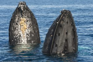 2017: A Critical Year for Humpbacks in Hawaii